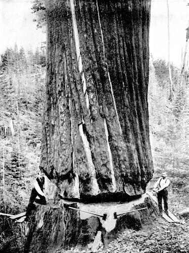 Logging Giant Tree Groves Redwoods